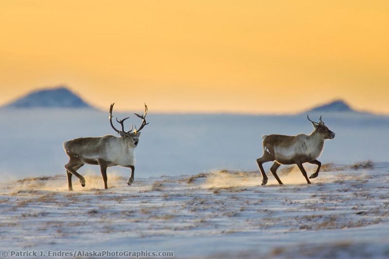 Животный мир Аляски