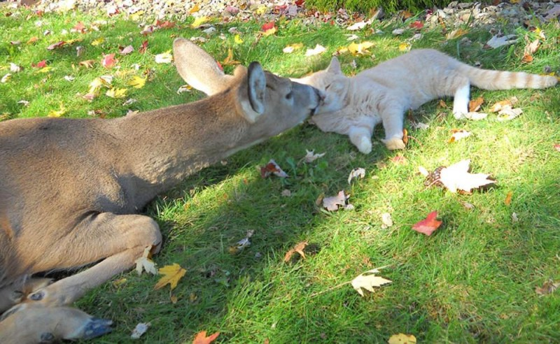 http://nasati.ru/wp-content/uploads/2012/06/ss-101028-unlikely-friends-deer-cat.ss_full-800x492.jpg
