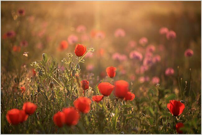 мак цветок