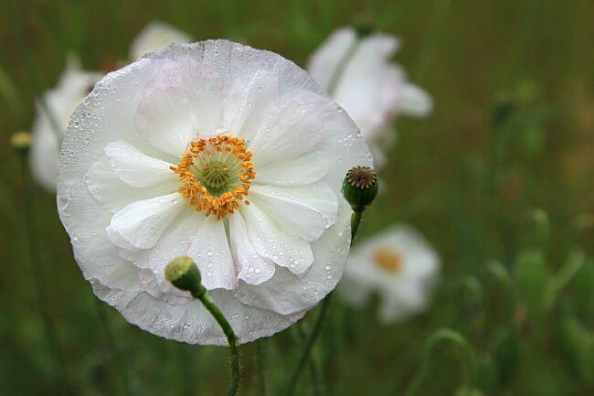 Цветок мак белый