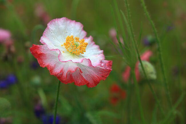 Махровый мак розовый