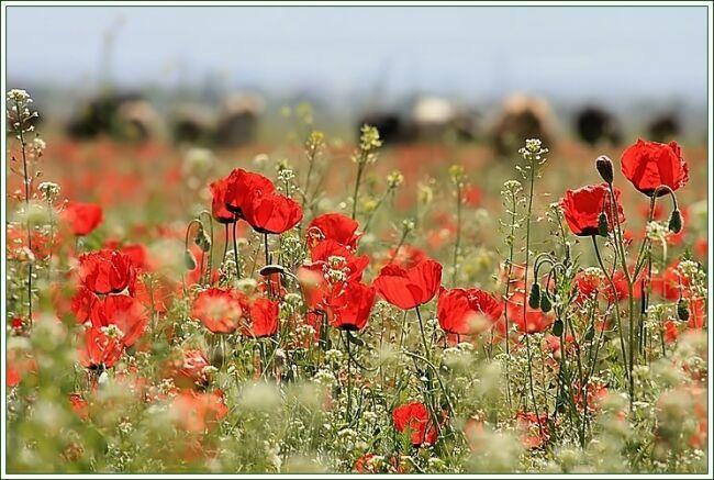 Мак цветок на фото Л. САн