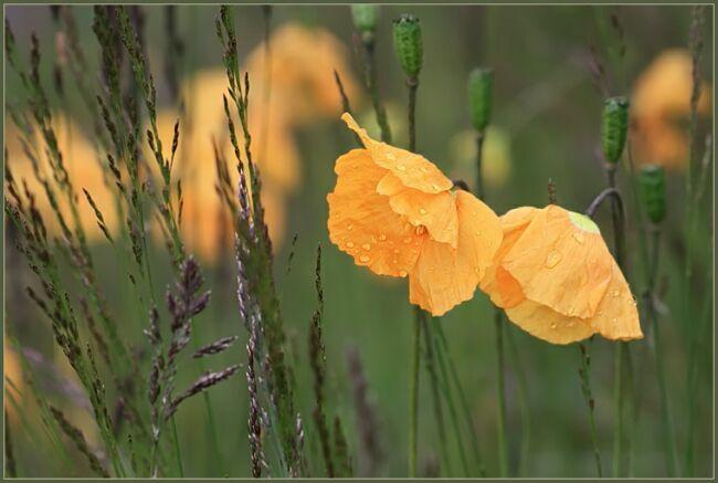 Фото желтого мака
