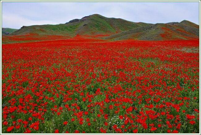 Красное поле маков  фото