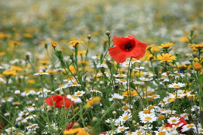 фото цветы маки в поле