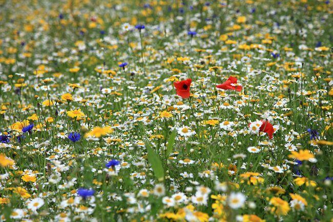 Поля цветов с маками