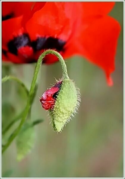 Цветок мак картинки