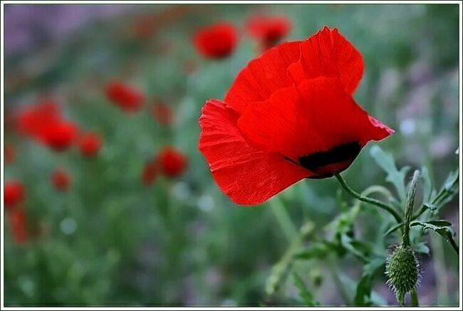Красный мак цветок