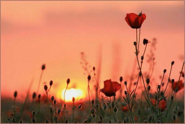 Мак цветов фото назакате