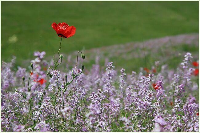 красный мак цветок на фото