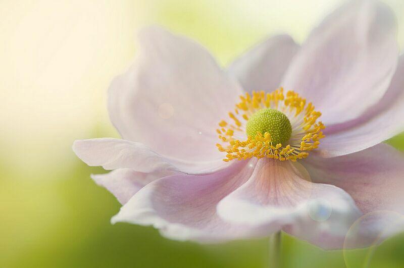 Лютики цветы