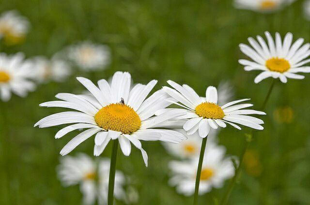 ромашка,ромашка цветок полевой