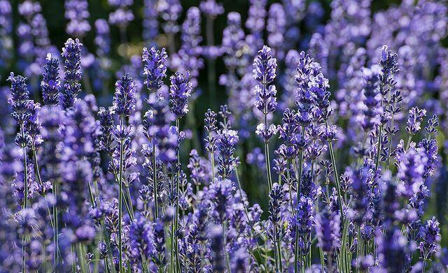 Фиолетовый полевой цветок