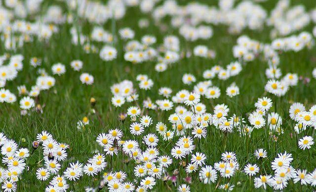 красивые полевые цветы картинки