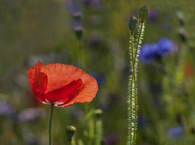 красный полевой цветок