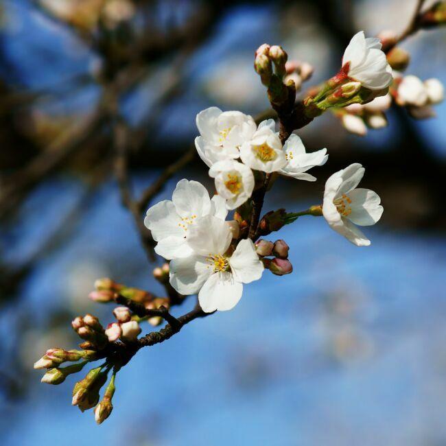 белые весенние цветы на фоне синего неба