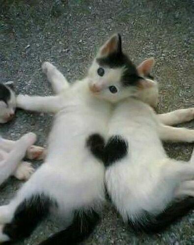 сердце на кошках