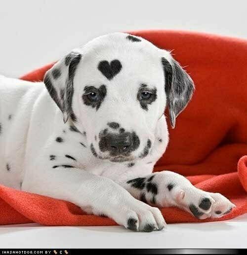 сердце на собаке фото