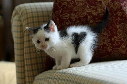 сердечко на котенке