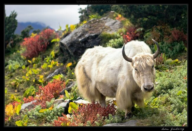 Животные гор Гималаев