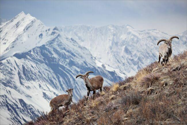 Животные Гималаев