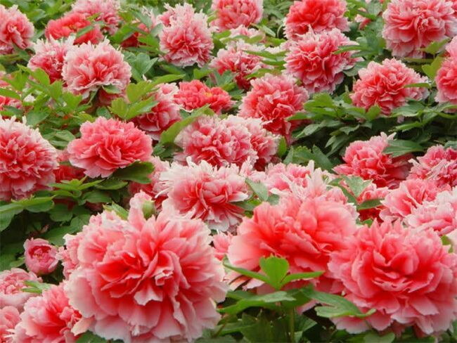 legend about peony