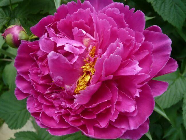 фотографии розовых пионов
