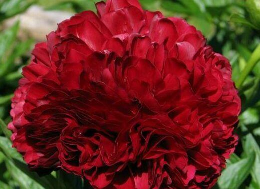 красивые красные пионы фото