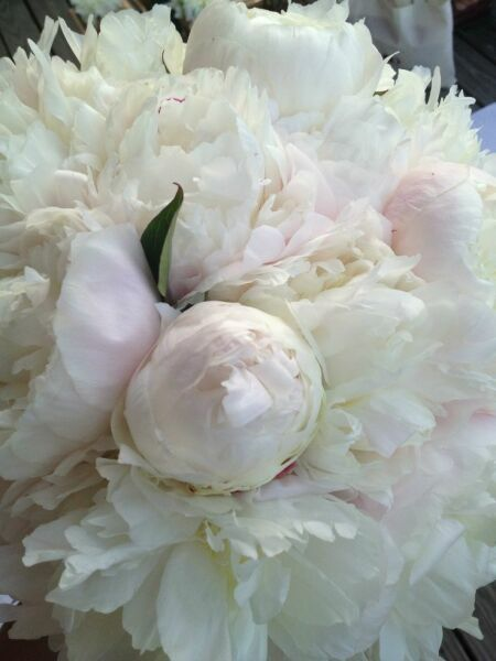 White peonies in the photo