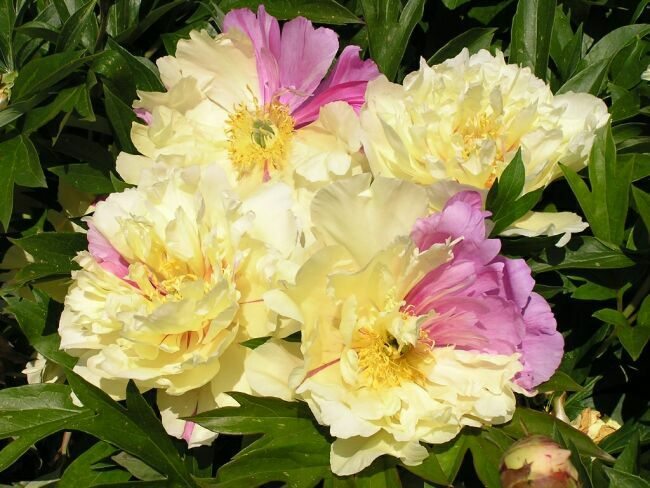 yellow peonies in the photo
