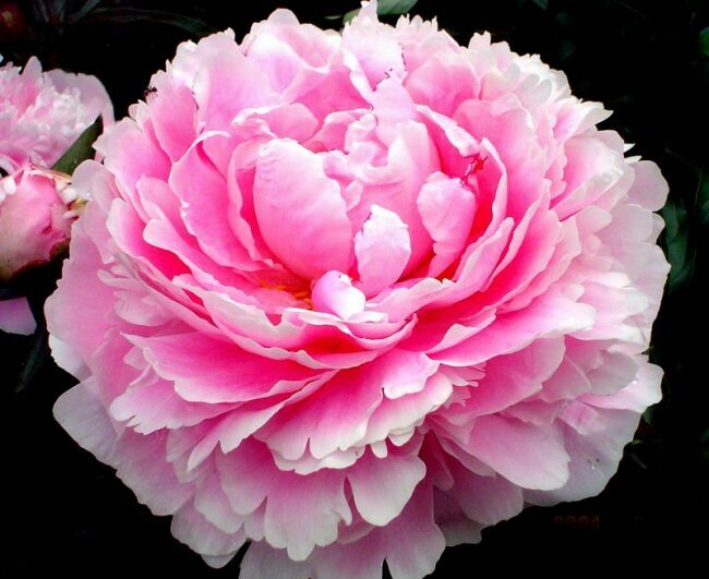 pink peony in the photo