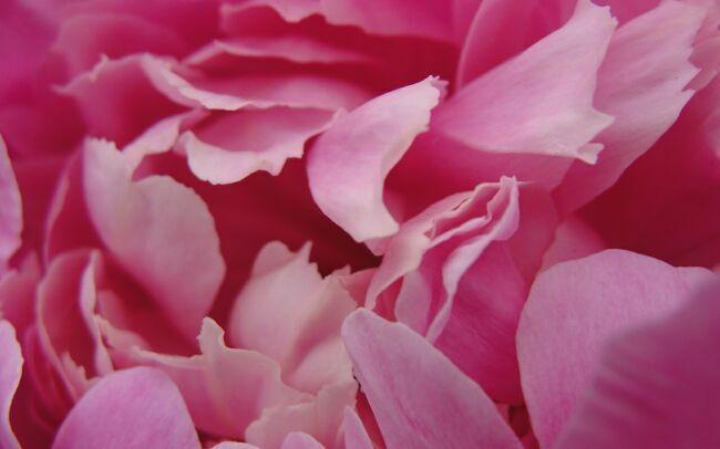 пионы фото цветов