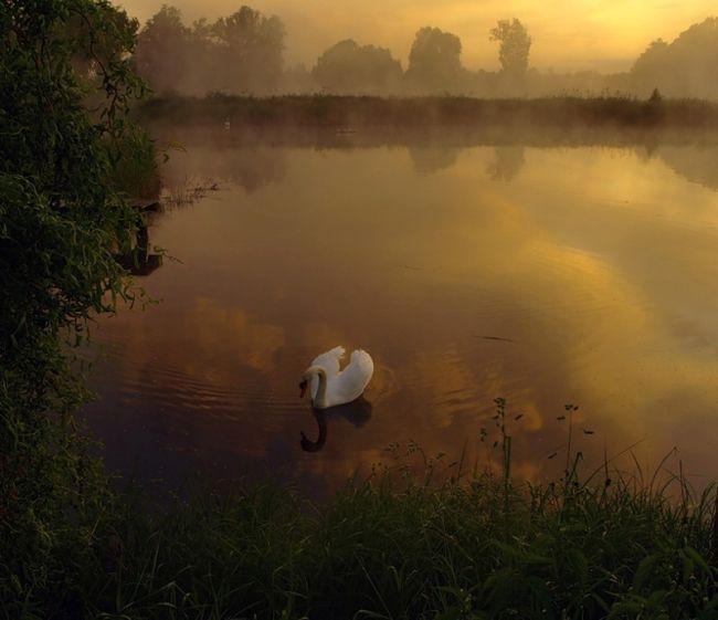 Лебеди Marek Jedzer