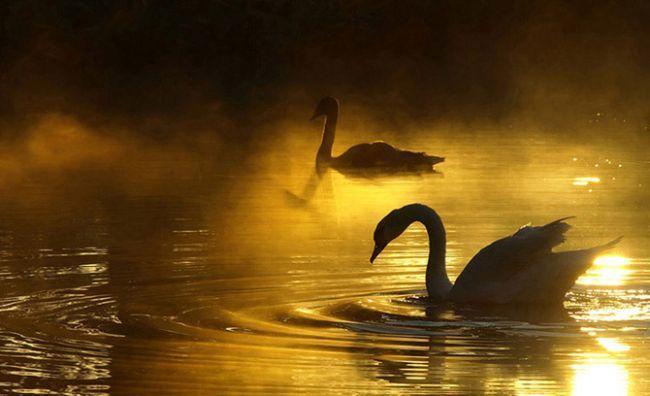 Лебеди на фото