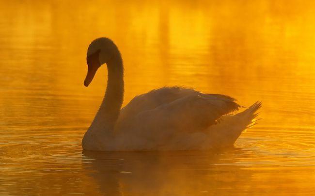 белые лебеди фото