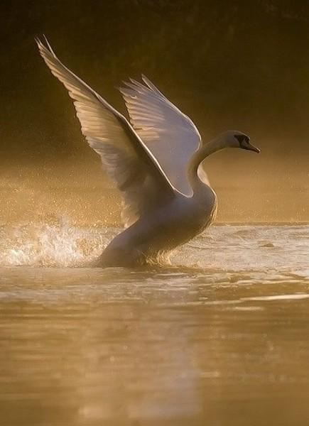 фото белого лебедя