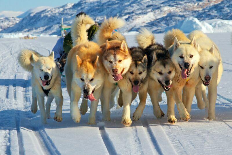 фотография собак севера галя моррелл