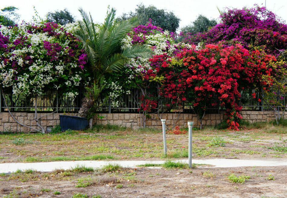 деревья в цвету в Израиле