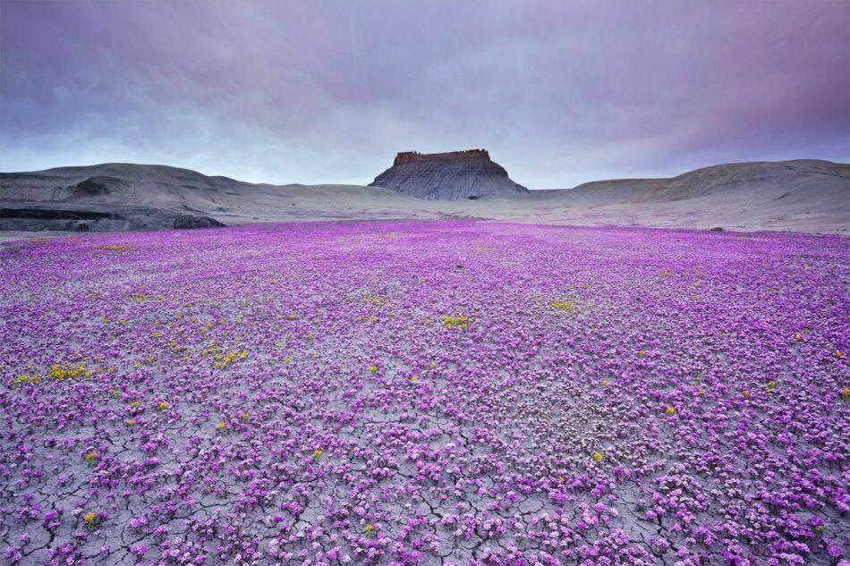 пустыня в цветах