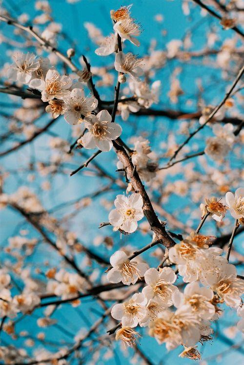 цветение деревья