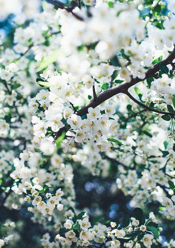 жасмин фото цветов