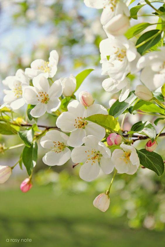 жасмин цветок фото