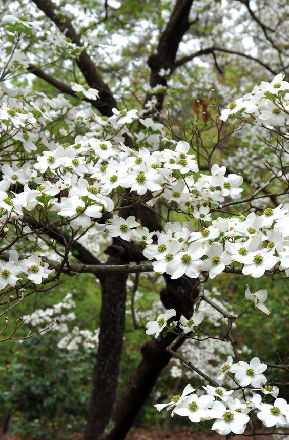 жасмин цветение