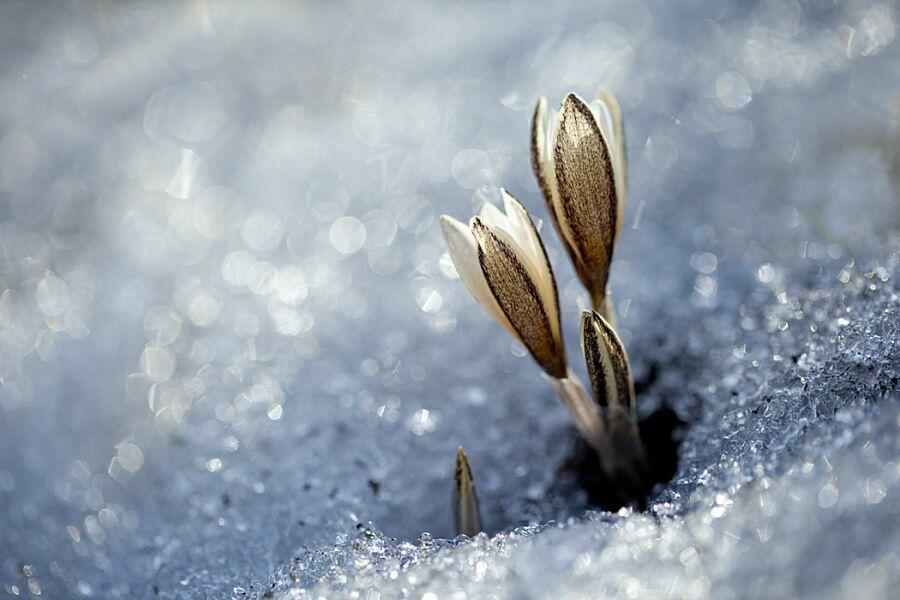 первоцветы в снегу
