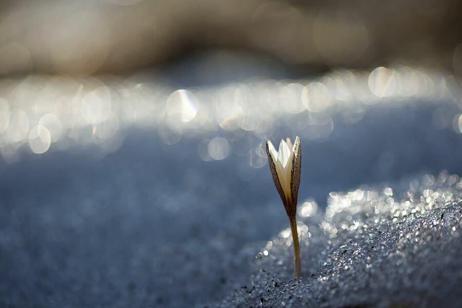 весенние цветы в снегу