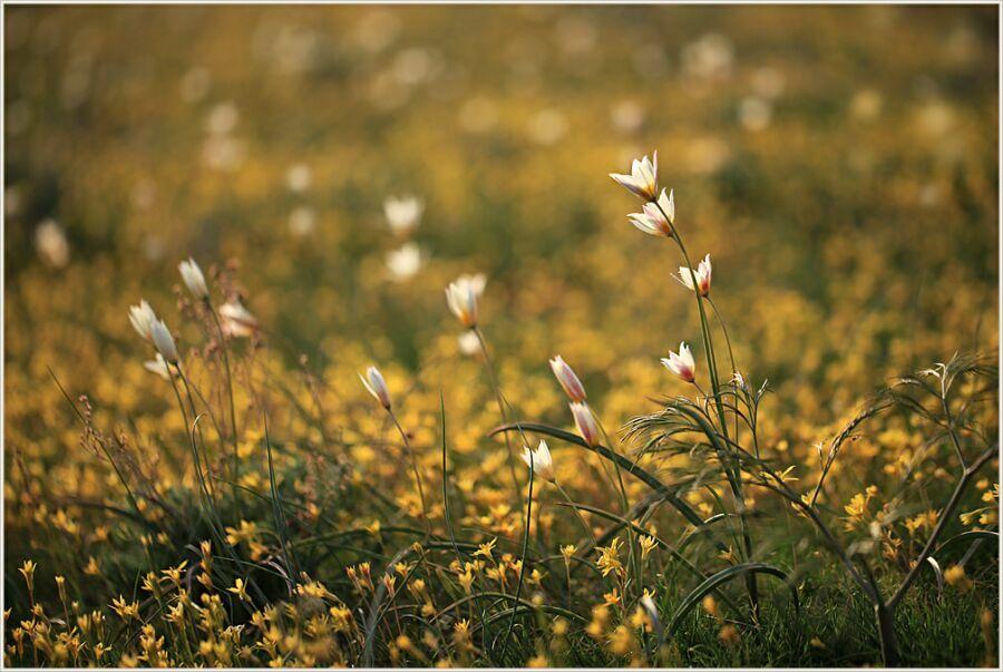 весенние цветы Казахстана